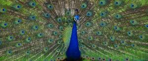 PeacockRFthin
